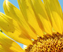 Sunflower Galore